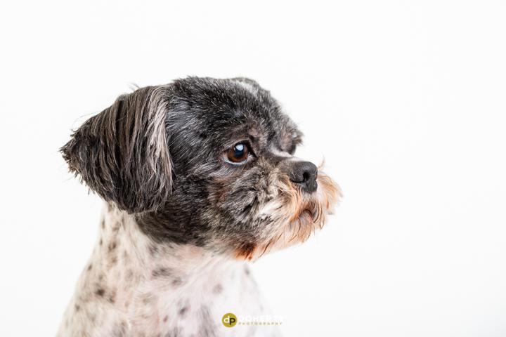 Dog Portraits Solihull