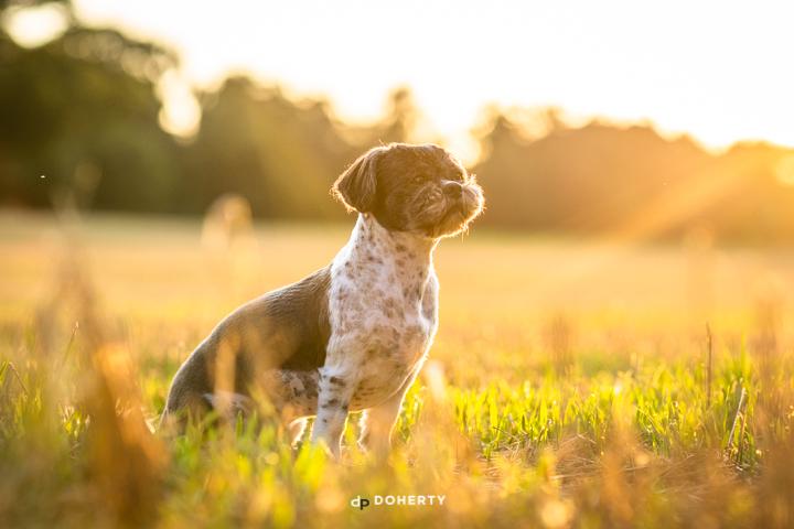Dog Portraits Birmingham